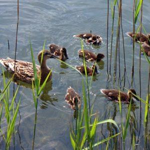 Entenfamilie auf dem Wasser